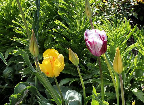 Tulipe 'Rem's Favorite' et Perroquet jaune (2)
