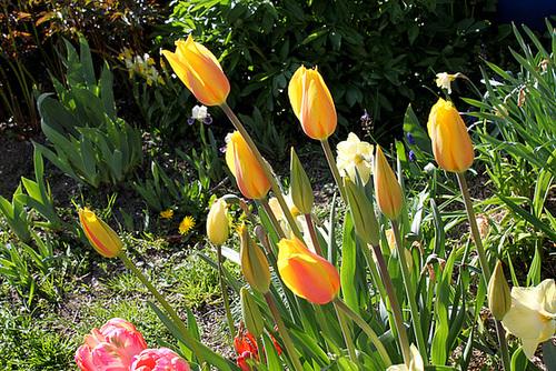 Tulipes 'Long Lady'