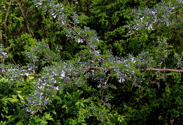 Sophora davidii (3)