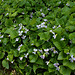Viola sororia  Freckles (2)