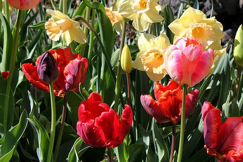 Tulipes Perroquets (3)