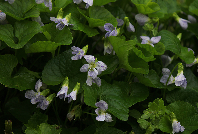 Viola sororia  Freckles (3)