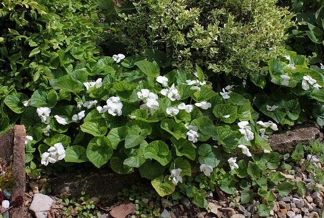 Viola sororia alba (2)