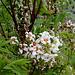 Xanthoceras sorbifolium (2)
