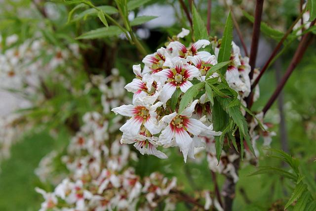Xanthoceras sorbifolium (3)