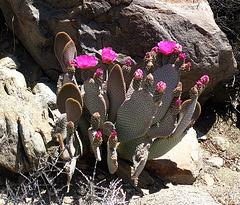 Cactus Flower (4647)