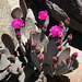 Cactus Flower (4648)