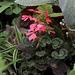 Pelargonium zonal
