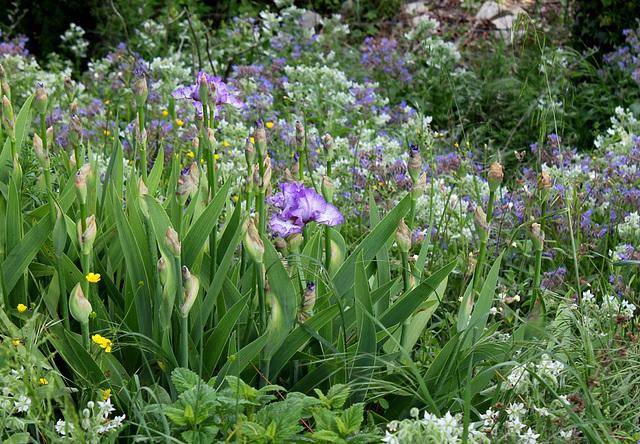 Iris barbu Earl of Essex