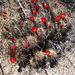 Cactus Flower (4649)