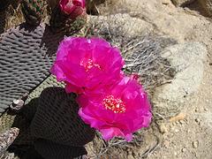 Cactus Flower (4646)