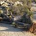 Fallen Joshua Tree (4622)