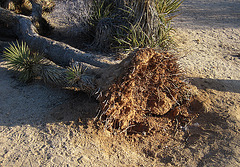 Fallen Joshua Tree (4623)