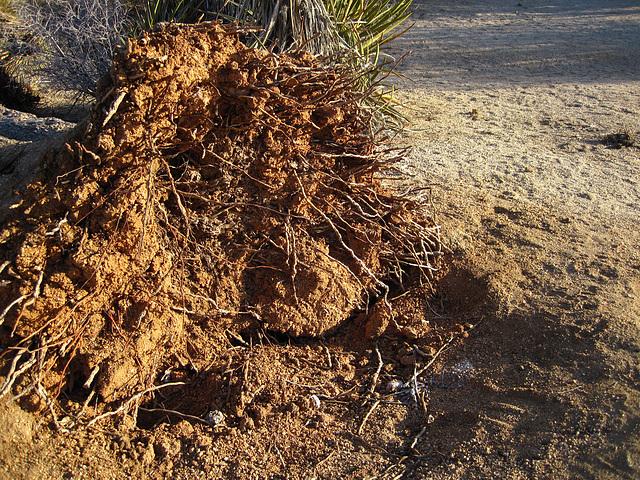 Fallen Joshua Tree (4624)