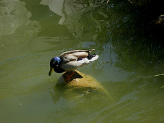 Lisboa, Garden of Foundation Calouste Gulbenkian, one island duck (2)