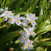 Iris japonica-001