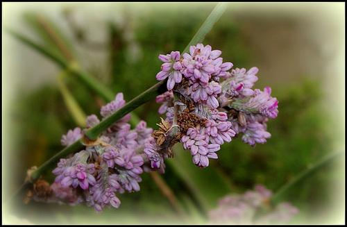 Callisia ( = Hadrodemas) warszewicziana (2)
