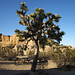 Joshua Tree at Jumbo Rocks (4609)