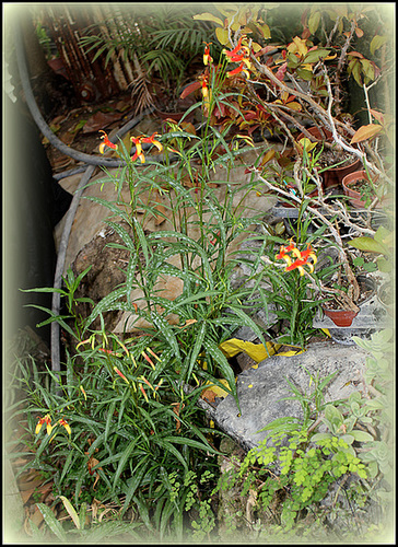 Lobelia laxiflora ( = mexicana )