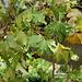 Lierre - Hedera cultivar