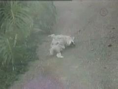 Comment se gratte un chien Corse