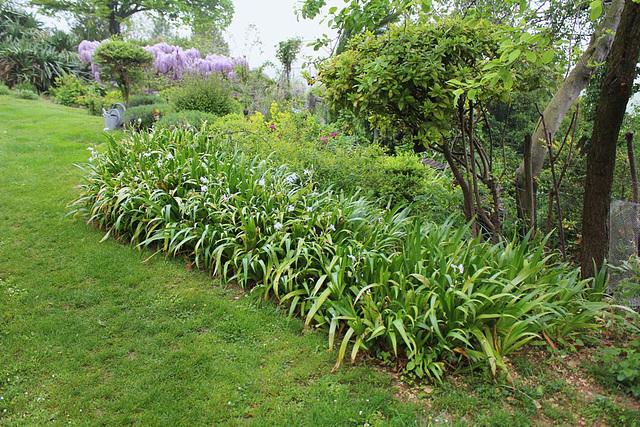 Massif d'Iris du japon