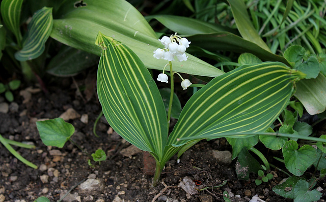 Muguet strié- Convallaria majalis albotriata