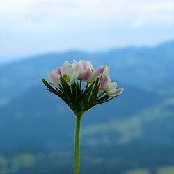 Narzissenblütige Anemone (Berghähnchen)   - Anemone narcissiflora