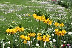 gelbe Kaiserkronen