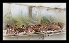 Collection d'Haworthia (2)
