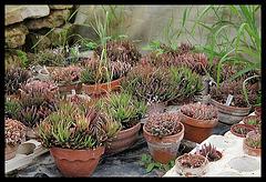Collection d'Haworthia (3)