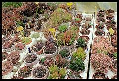 Collection d'Haworthia (4)