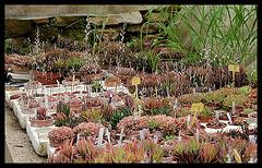 Collection d'Haworthia (5)