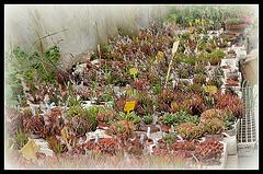 Collection d'Haworthia (6)