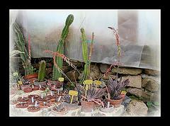 Xérophytes- Gasteria en fleurs