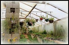 La serre -Collection de Rhipsalis et autres épiphytes