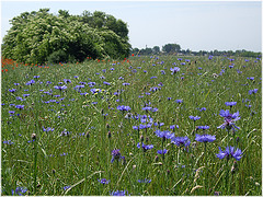 Kornblumen im Feld vor Holundergehölz