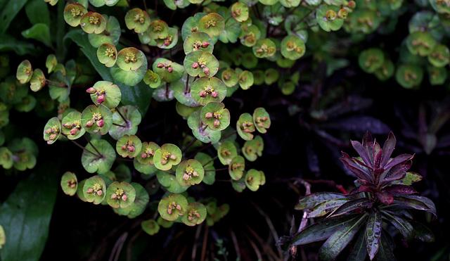 Euphorbe en fleur