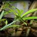 Pereskia grandifolia- Cactacées (5)