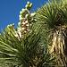 Joshua Tree Bloom (4613)