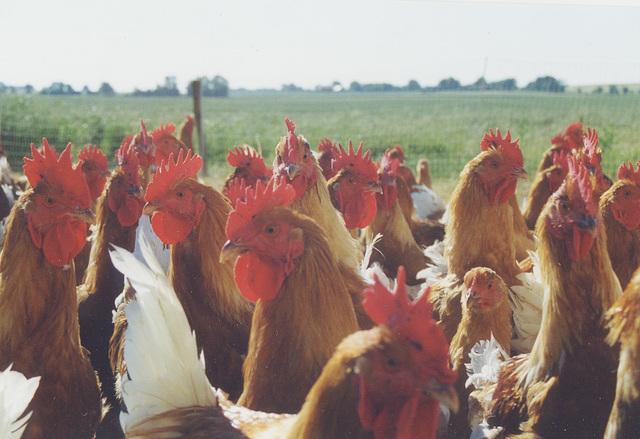 Les  poules de GUILLAUME
