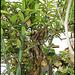Pereskia grandifolia- Cactacées (4)