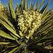 Yucca Bloom (4615)