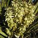 Yucca Bloom (4616)