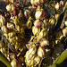 Yucca Bloom (4621)
