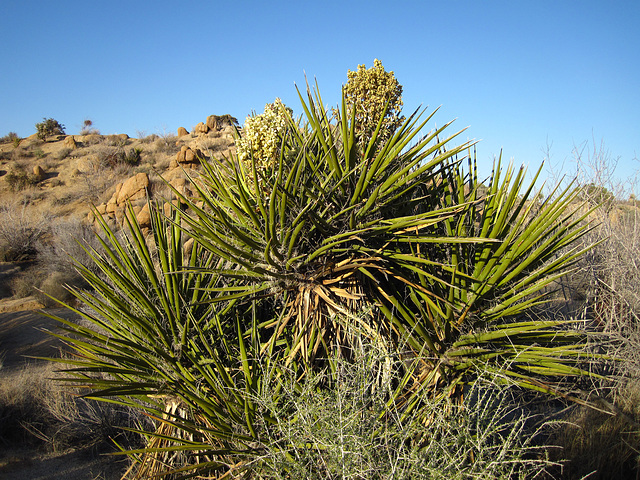 Yucca Blooms (4620)
