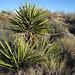 Yuccas (4617)