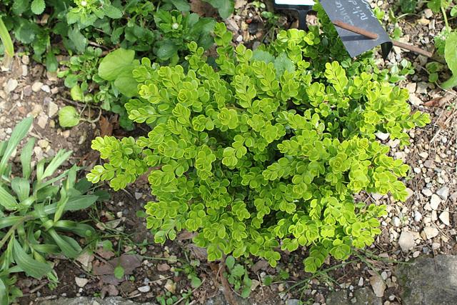 Buis - Buxus sinica v. insularis