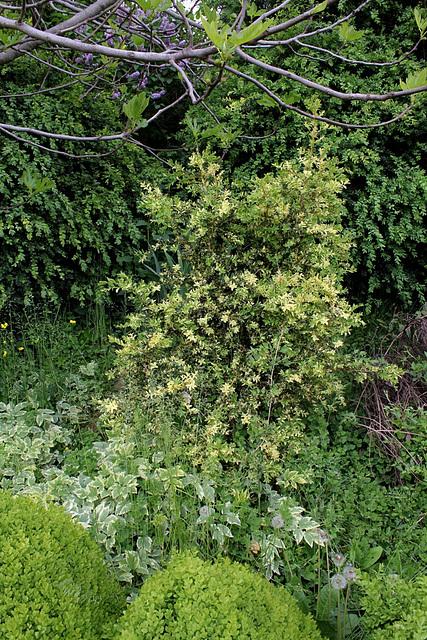 Buxus sempervirens aurea pendula