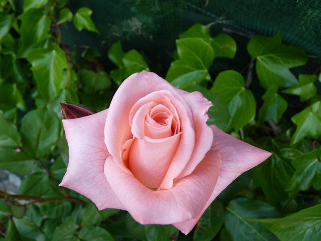 Rosa de mi  jardín 2013
